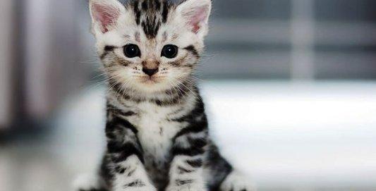 Kediler - Kedi Türleri